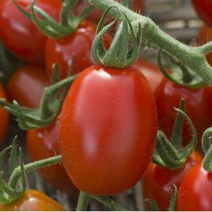 Tomate - Plante d'extérieur | Gamm vert