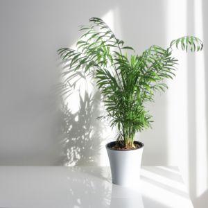 Grandes Plantes Dintérieur Gamm Vert