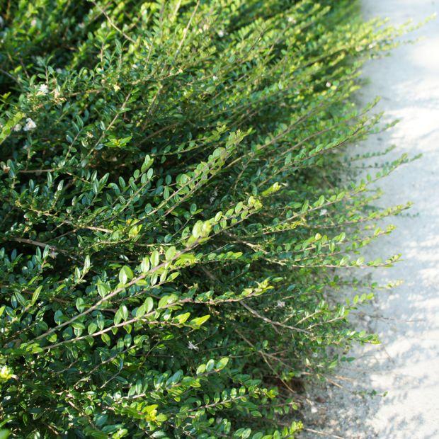 Chèvrefeuille arbustif Scoop - Lonicera nitida Pot de 3 ...