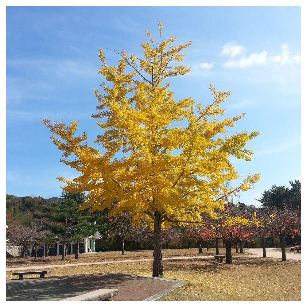 Arbre Persistant En Pot ginkgo biloba, arbre aux quarante écus