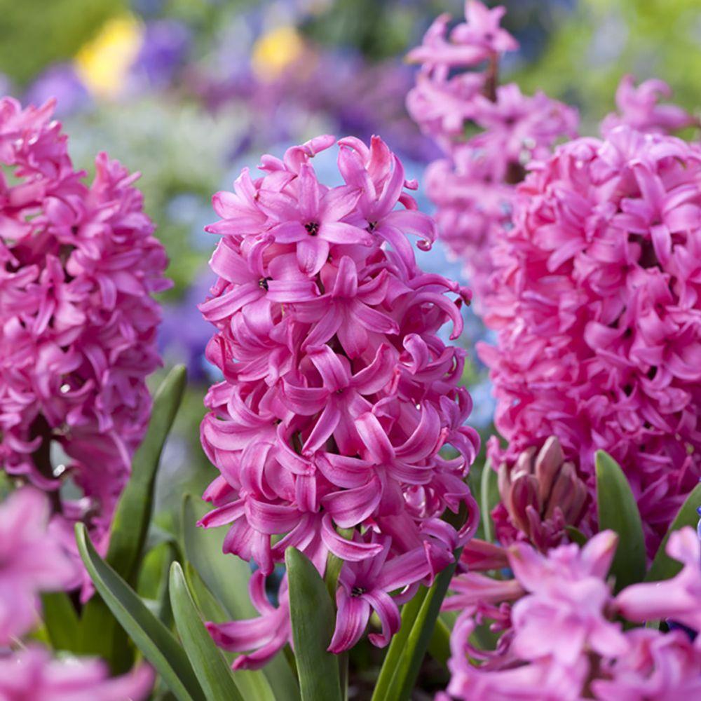 Jacinthe rose 'Pink pearl'