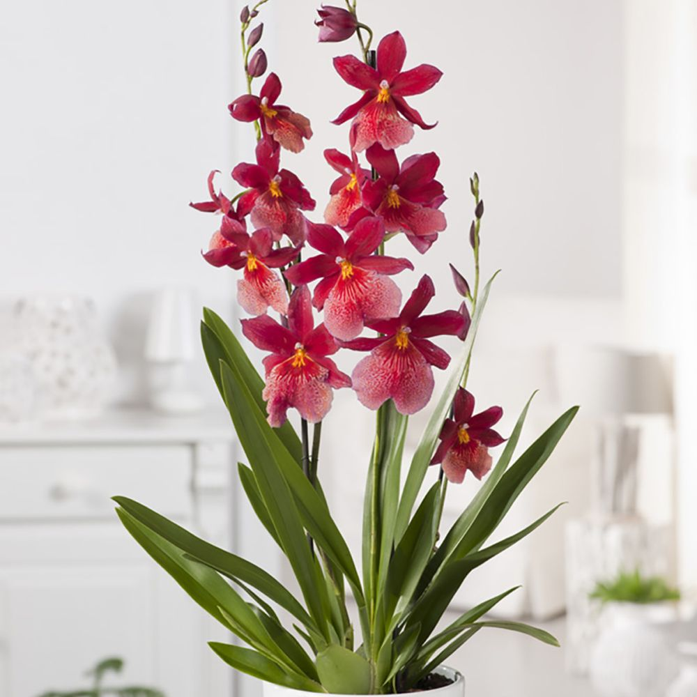Orchidée Cambria Nelly Isler - 3 tiges