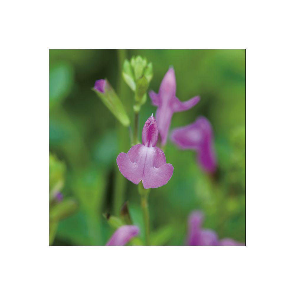 Sauge microphylla Trenance