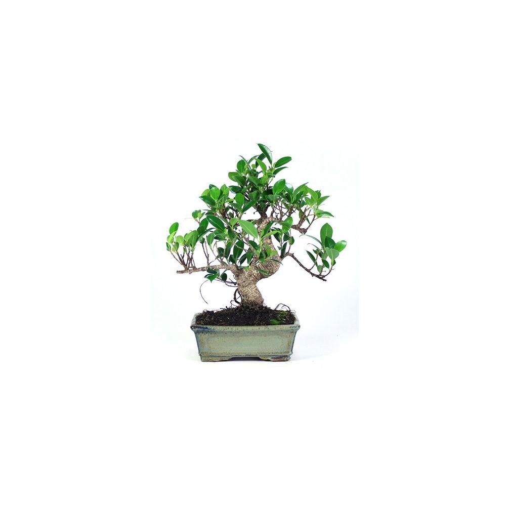Bonsaï d'intérieur : Ficus retusa (8 ans)