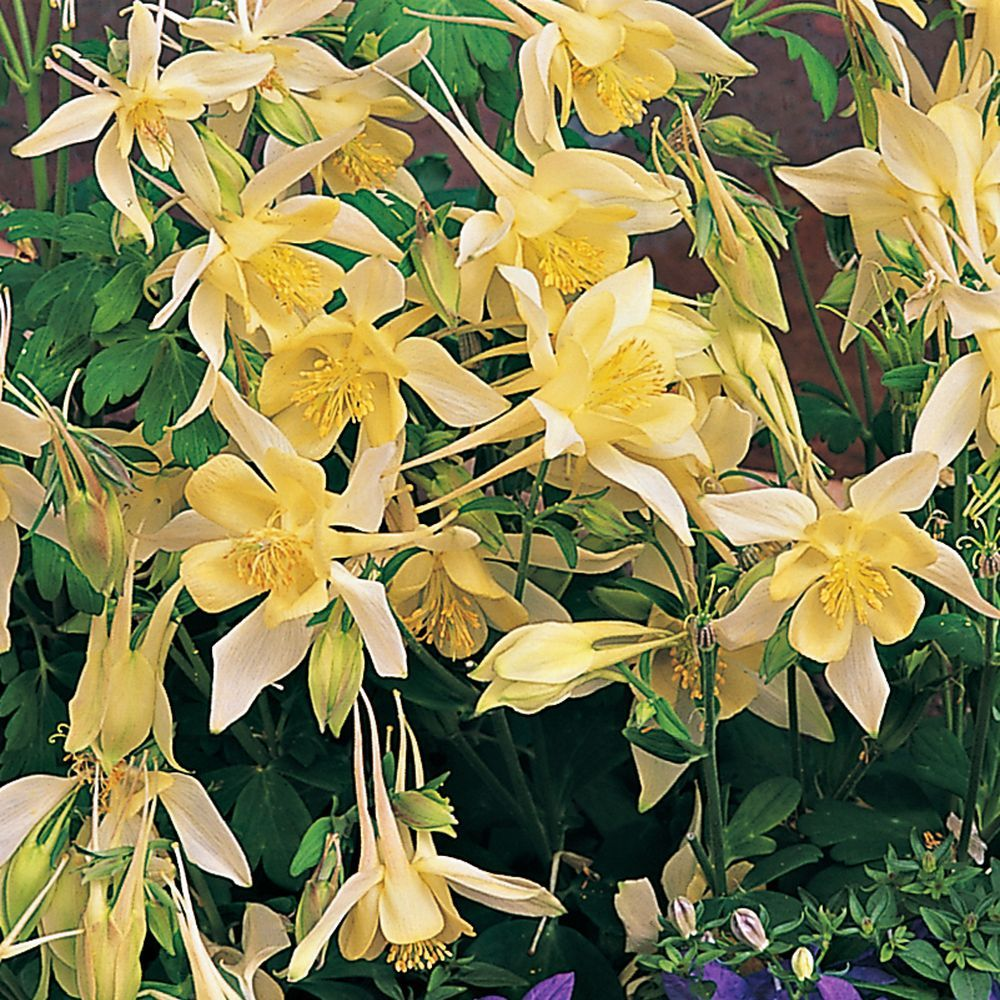 Ancolie 'Yellow Queen'