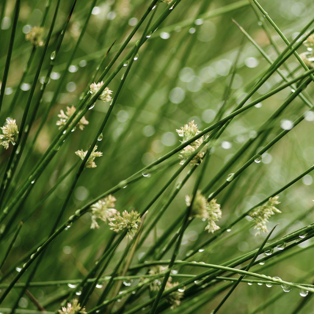 Plante aquatique Juncus effusus - Jonc des chaisiers