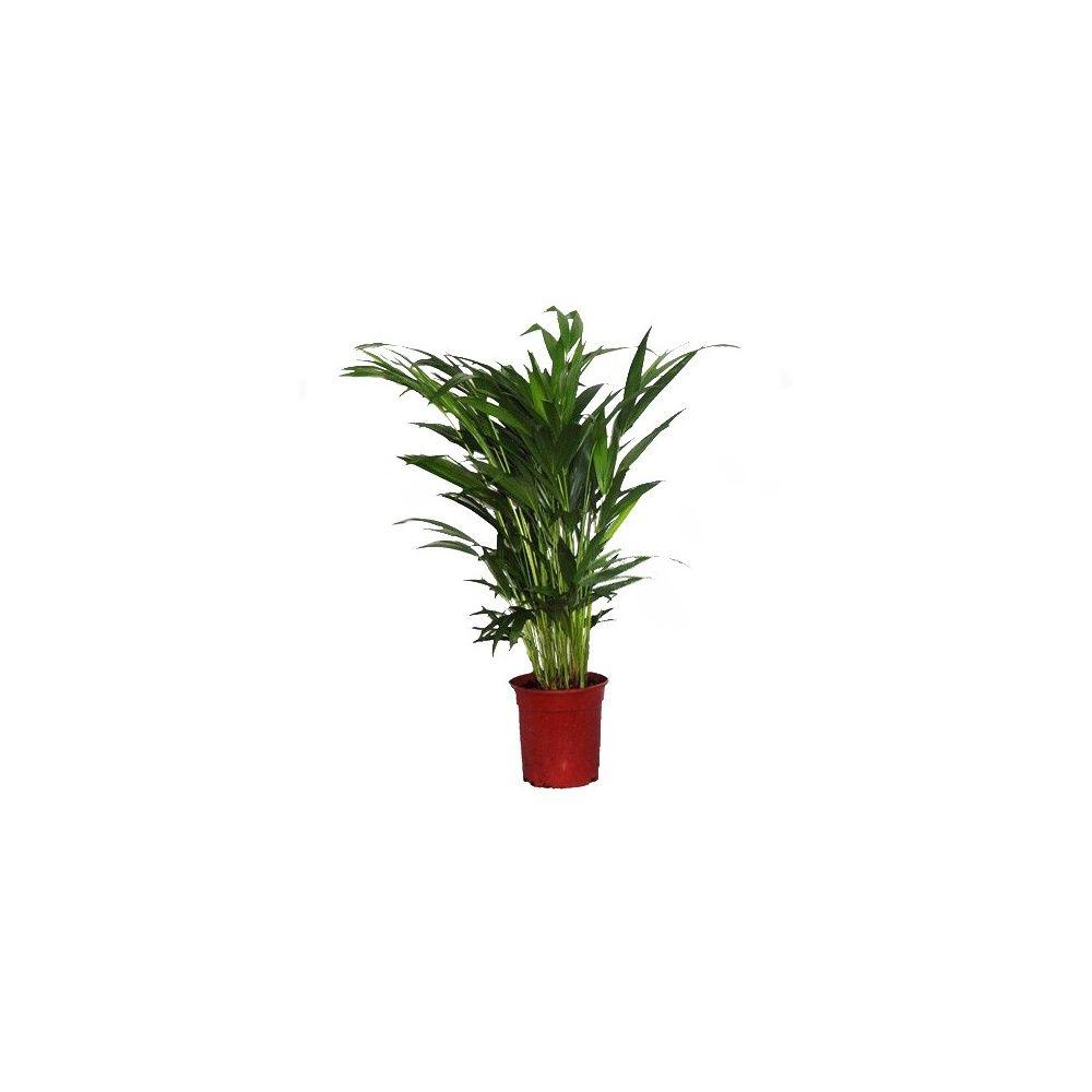Palmier Areca lutescens (Dypsis)