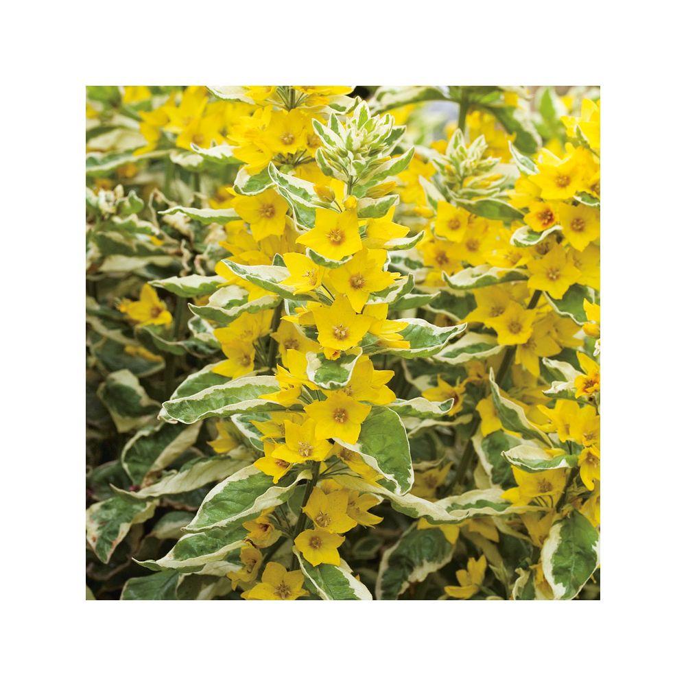 Lysimachia punctata golden alexander