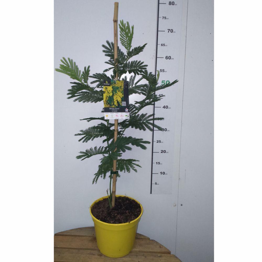 Arbre En Pot Hiver mimosa d'hiver 'le gaulois' (de bouture)