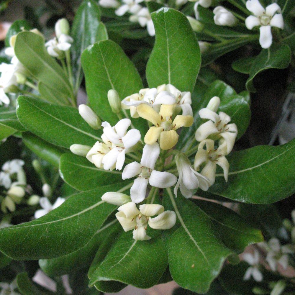 Plantes De Terrasse Arbustes pittosporum tobira odorant