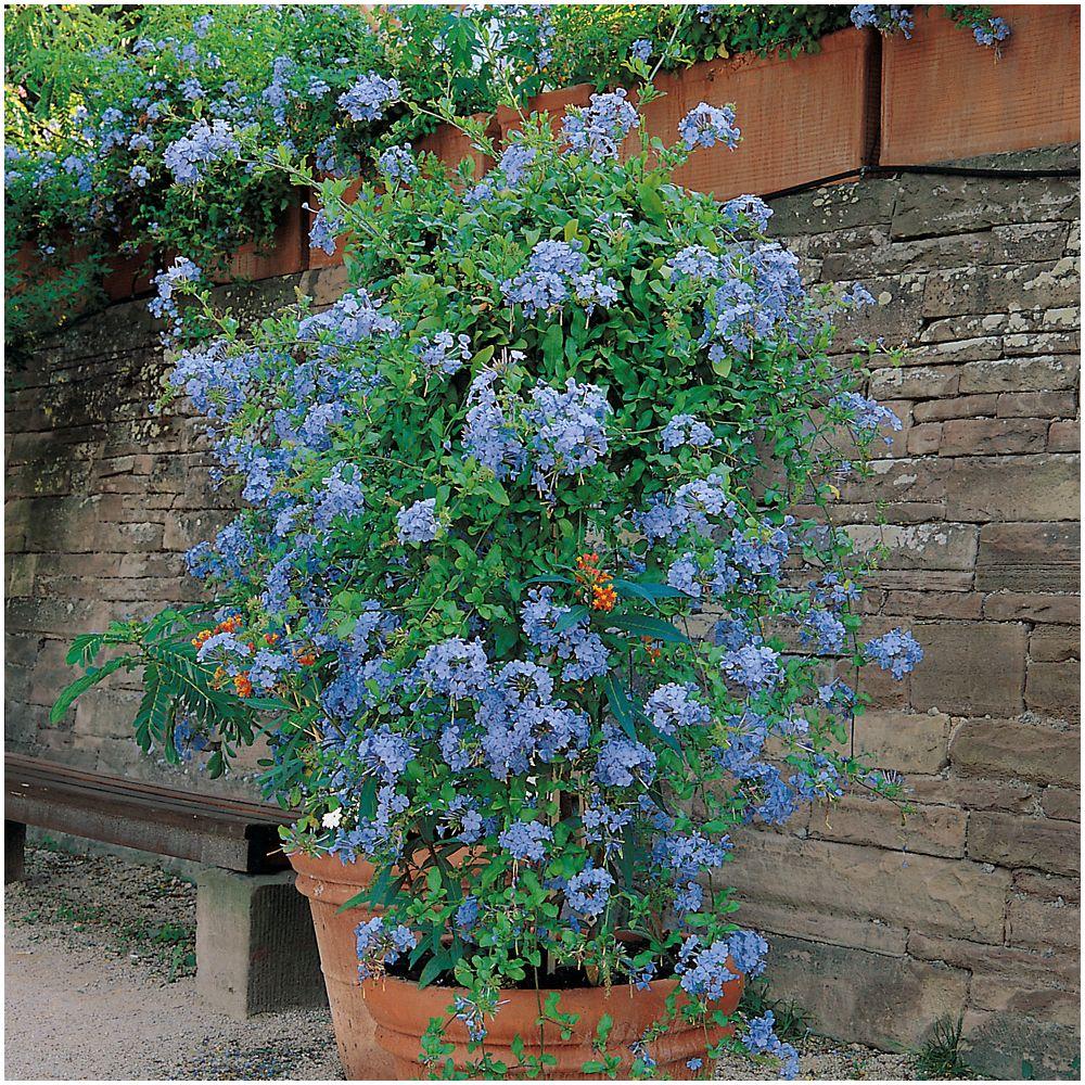 Plante Haute En Pot plumbago du cap