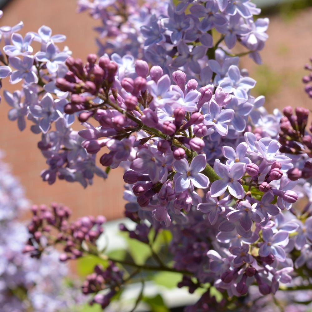 Planter Un Lilas En Pot lilas commun 'prince wolkonsky'