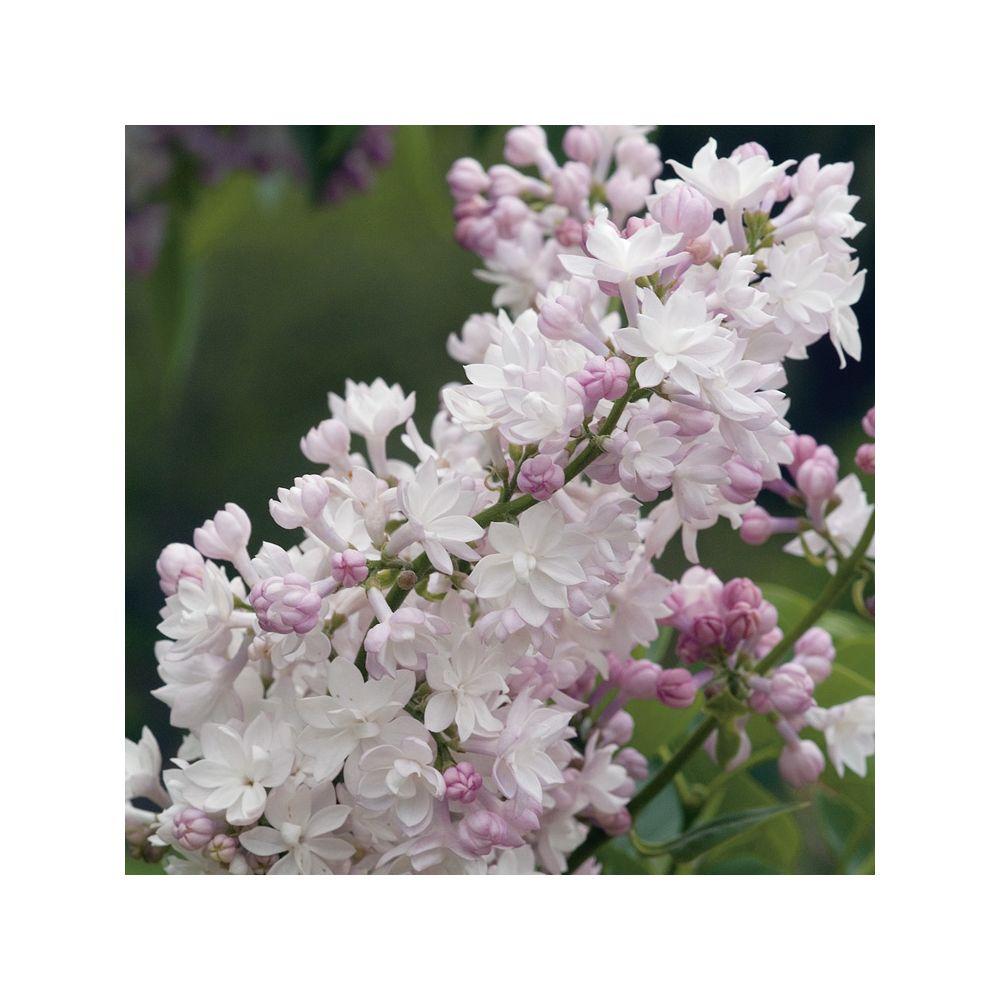 Planter Un Lilas En Pot lilas commun 'belle de moscou'