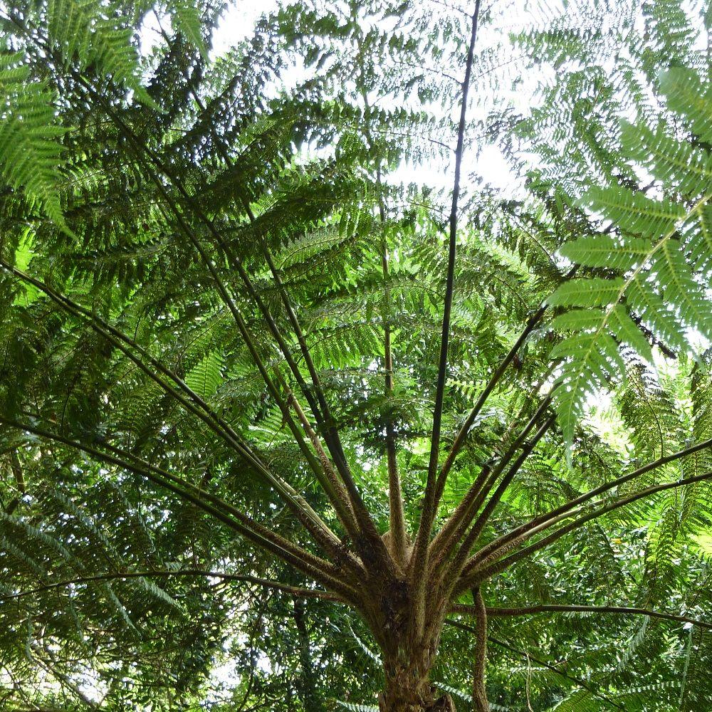 Fougère arborescente - Cyathea cooperi