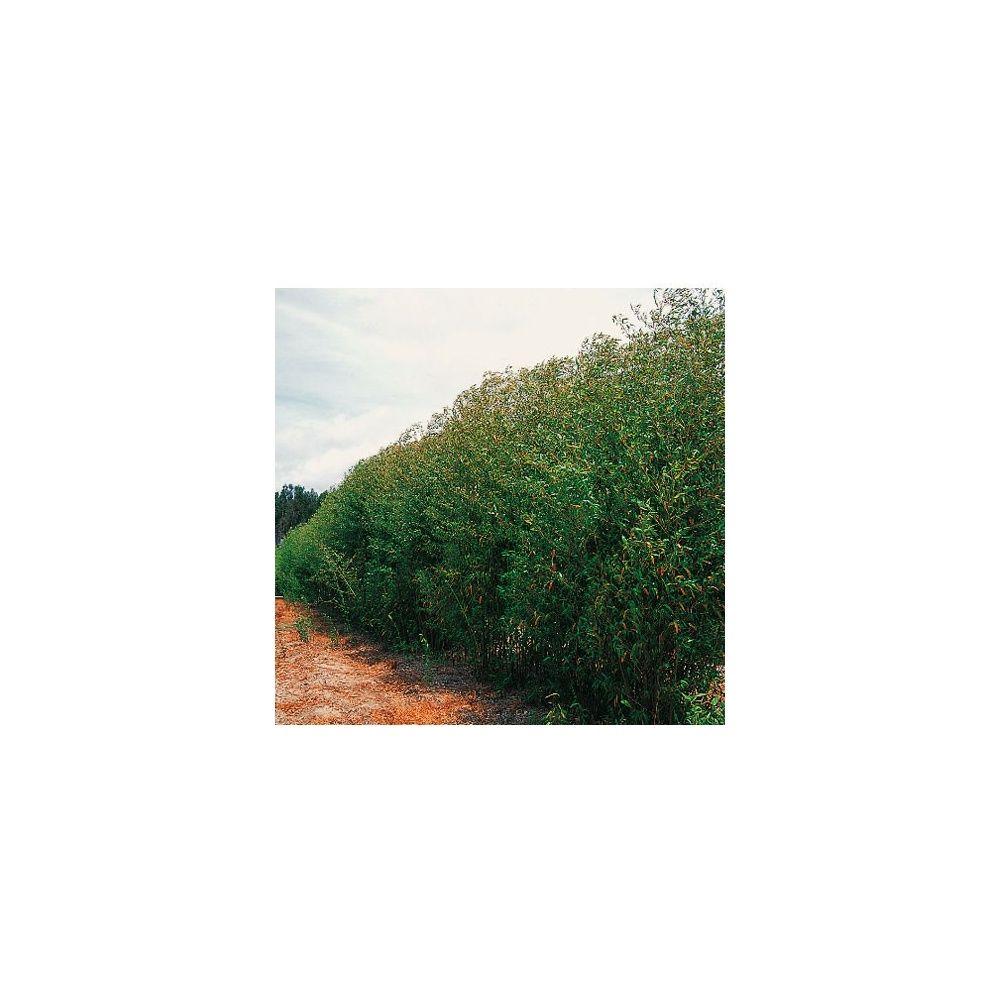 Bambou moyen : Phyllostachys rubromarginata
