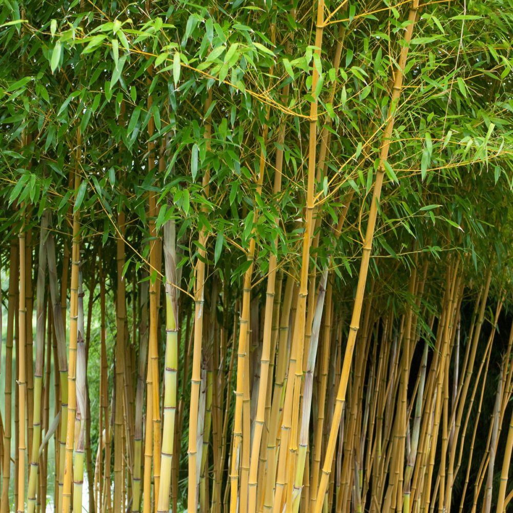 Bambou Moyen Phyllostachys Aureosulcata Aureocaulis Pot De 3 Litres Hauteur 40 80cm Gamm Vert