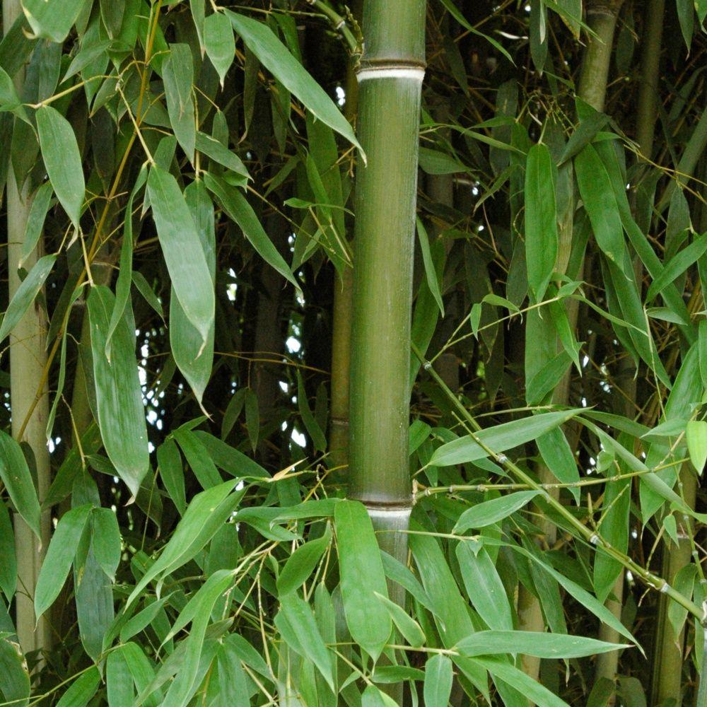 Bambou moyen : Phyllostachys nuda