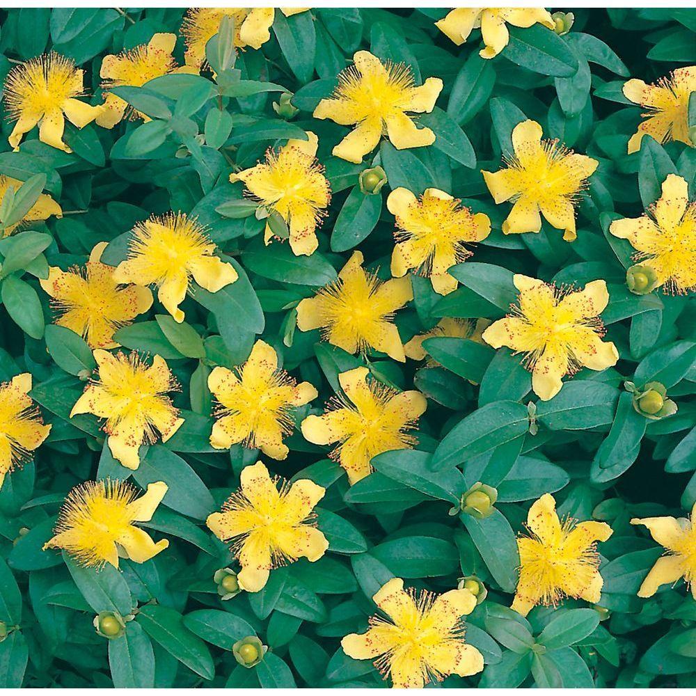 Plante Couvre Sol Soleil millepertuis couvre-sol - hypericum calycinum