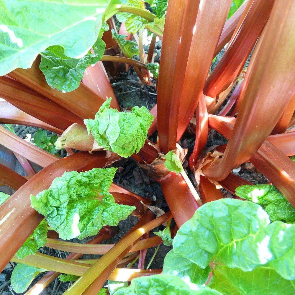 Culture Et Entretien De La Rhubarbe rhubarbe à côtes