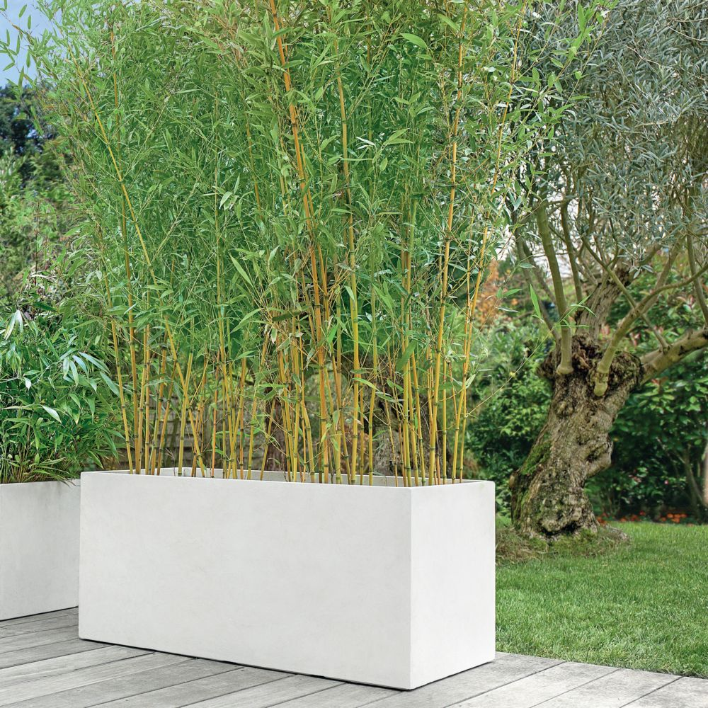 bambou moyen phyllostachys aureosulcata 39 aureocaulis 39 en. Black Bedroom Furniture Sets. Home Design Ideas