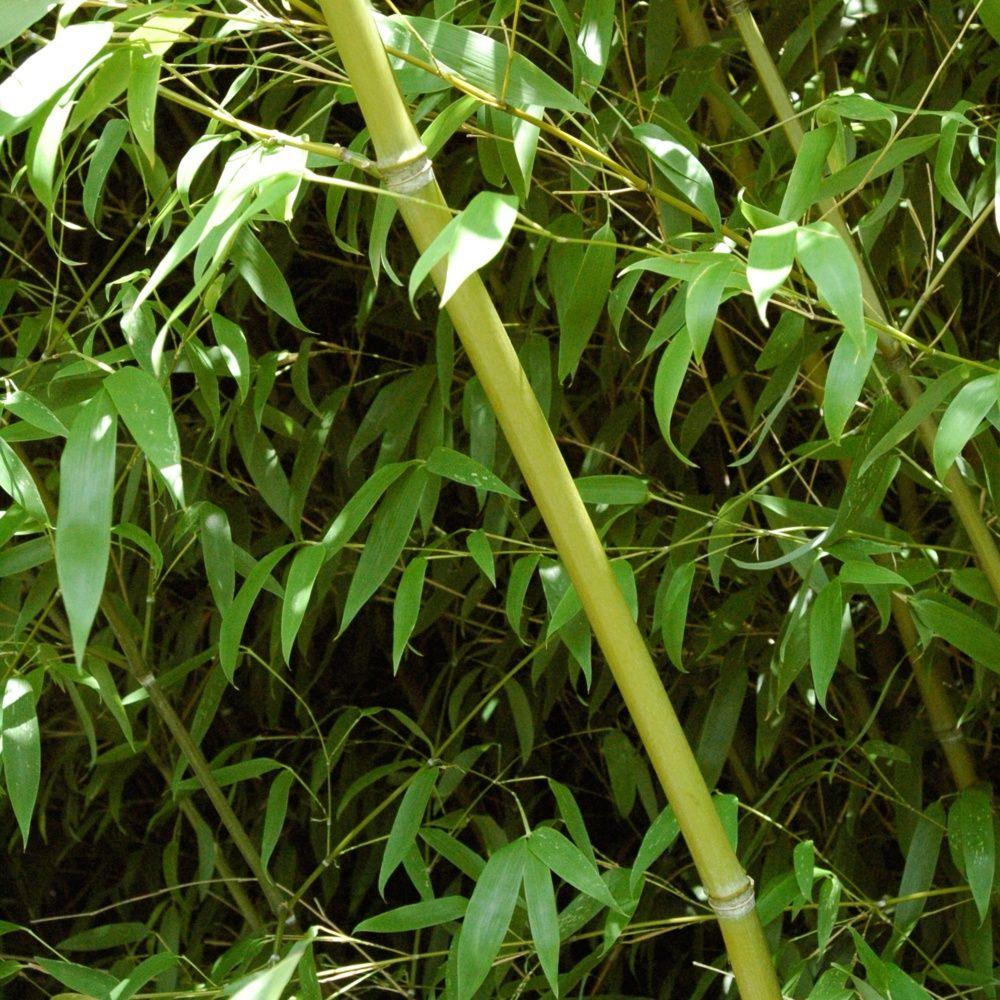 Bambou moyen : Phyllostachys 'Tip Top'
