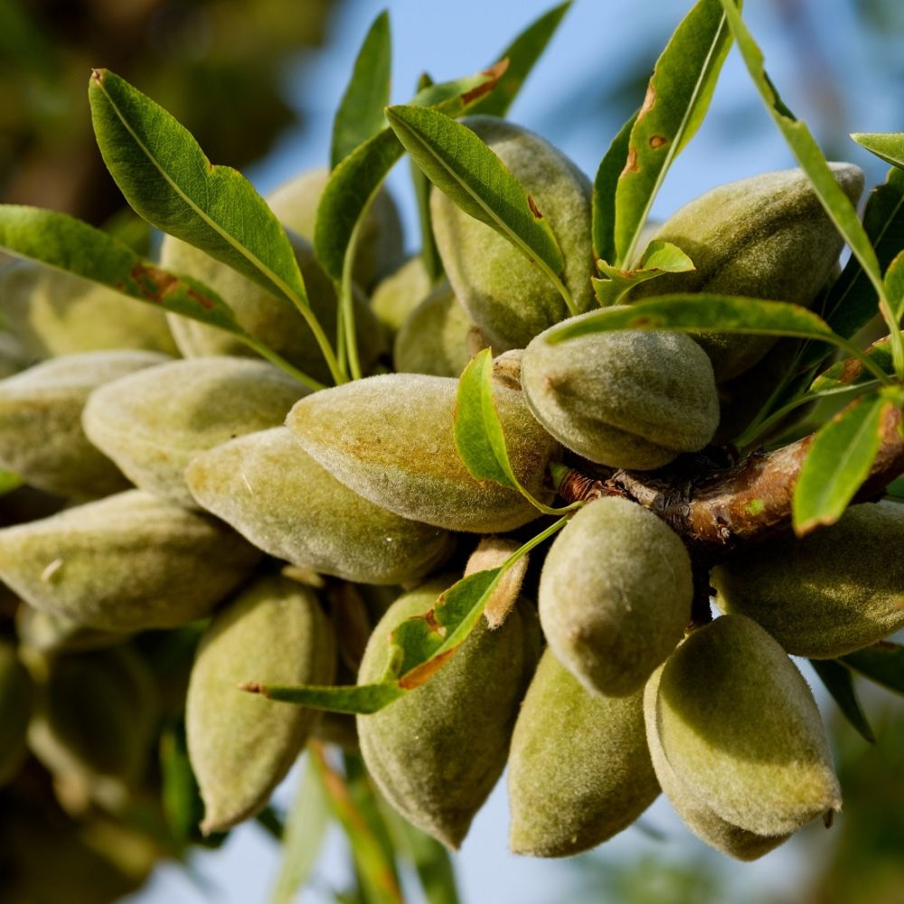 black almond tree removal - 1000×1000