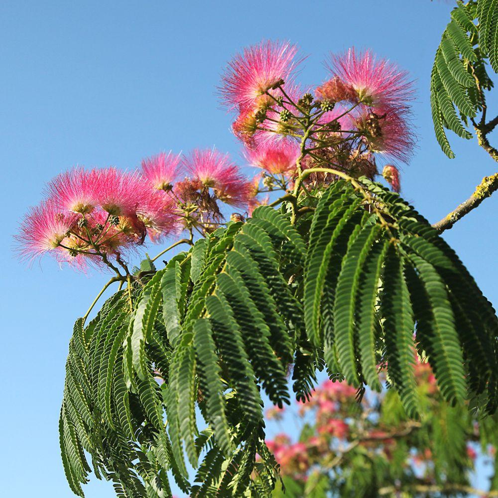Arbre Persistant En Pot arbre à soie ou albizia 'cyrano'