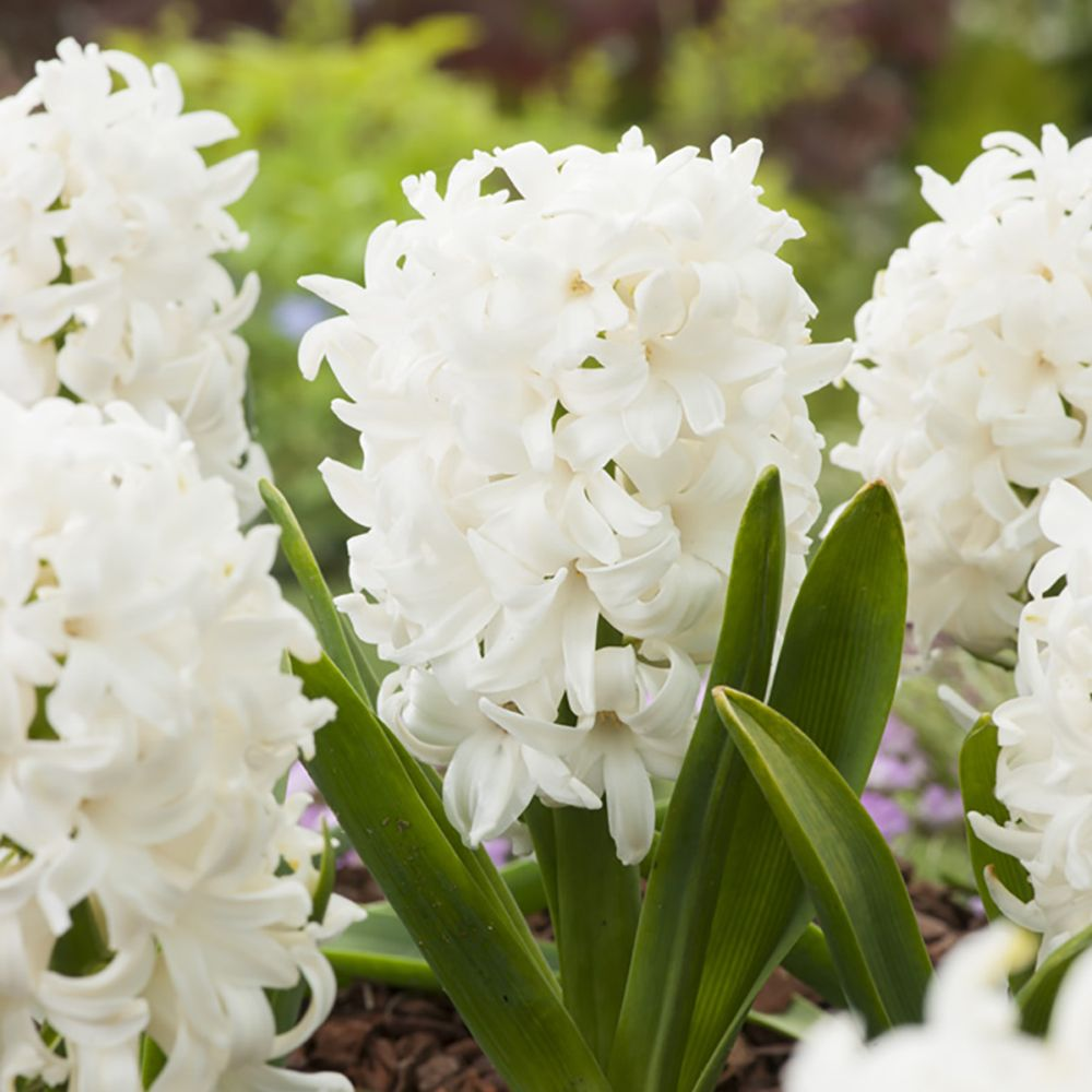 Jacinthe 'White Pearl'