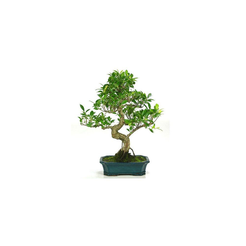 Bonsaï d'intérieur : Ficus retusa (10 ans)