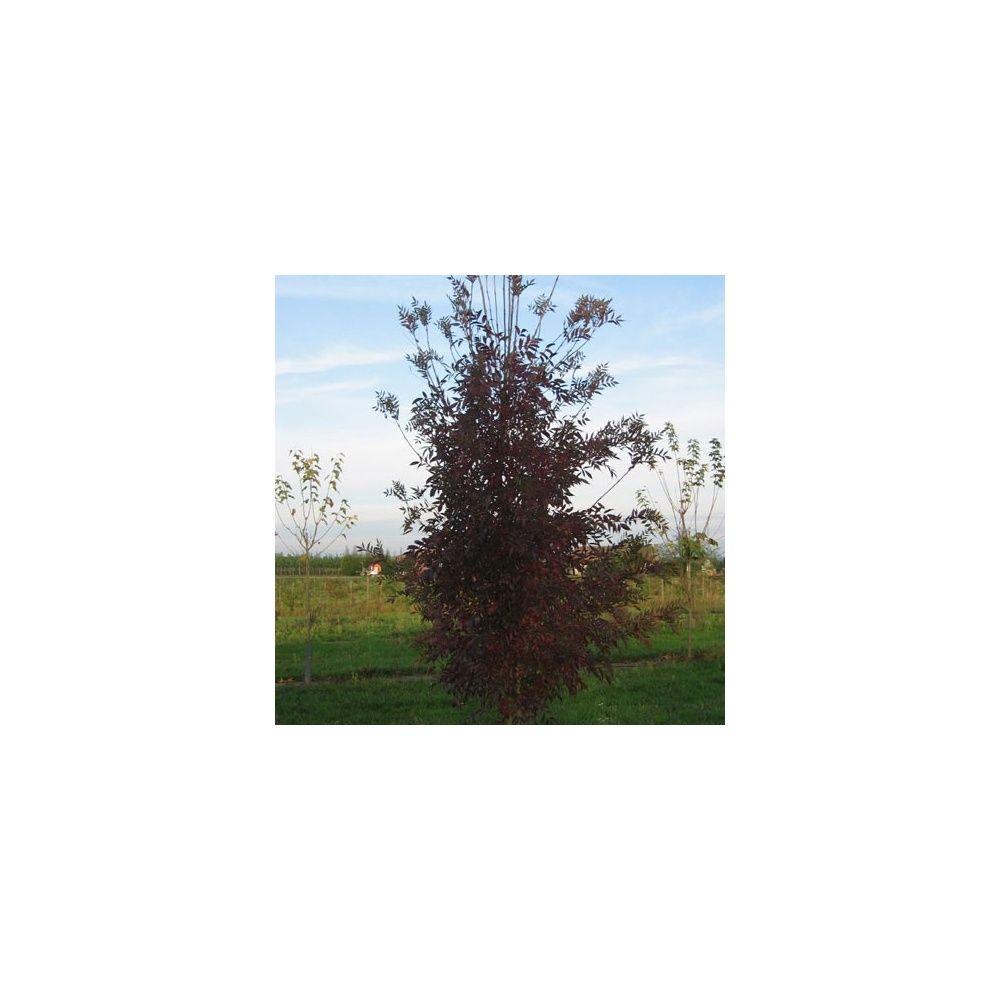 Frêne oxycarpa 'Raywood Flame'