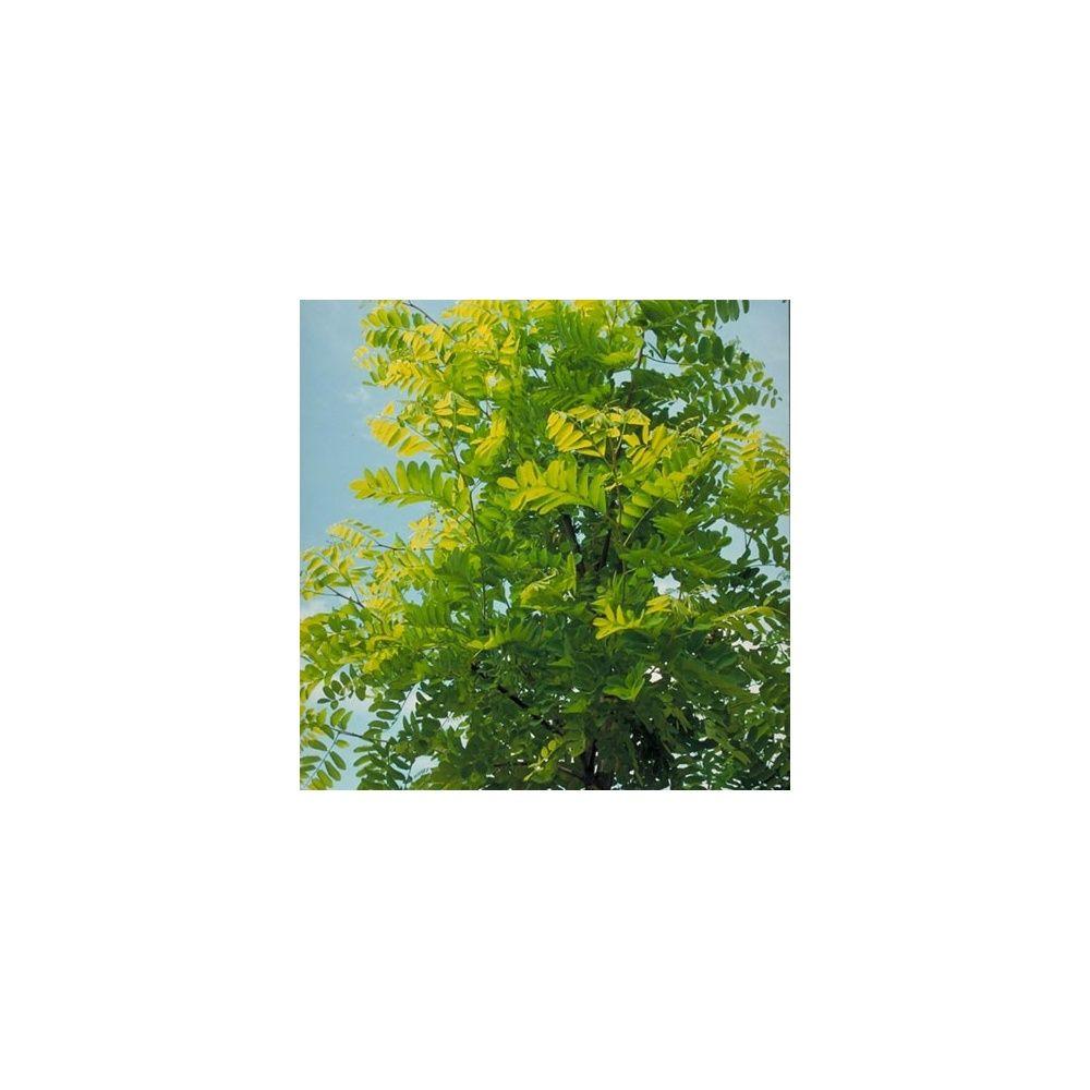 Robinier faux-acacia \'Frisia\' racines nues, tige 8/10 cm de ...