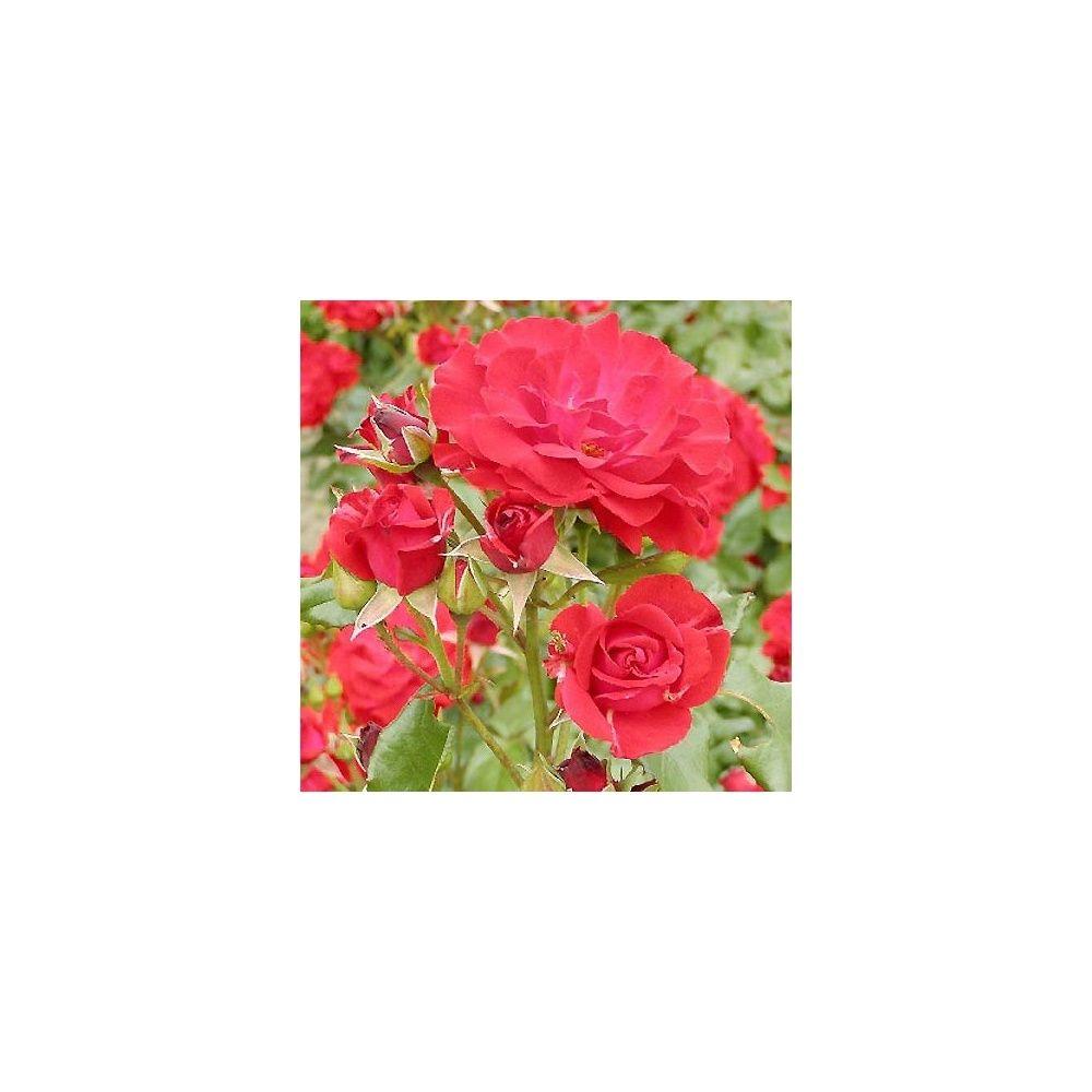 """Pot /Ø 17cm Rosier grimpant Hauteur 40 cm Rosa /""""Golden Showers/"""" Fleurs roses parfum/ées"""
