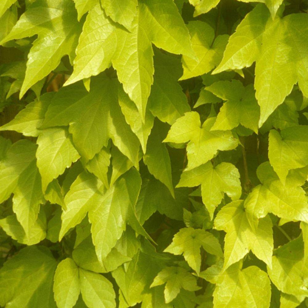 Vigne vierge 'Golden Wall®' fenway