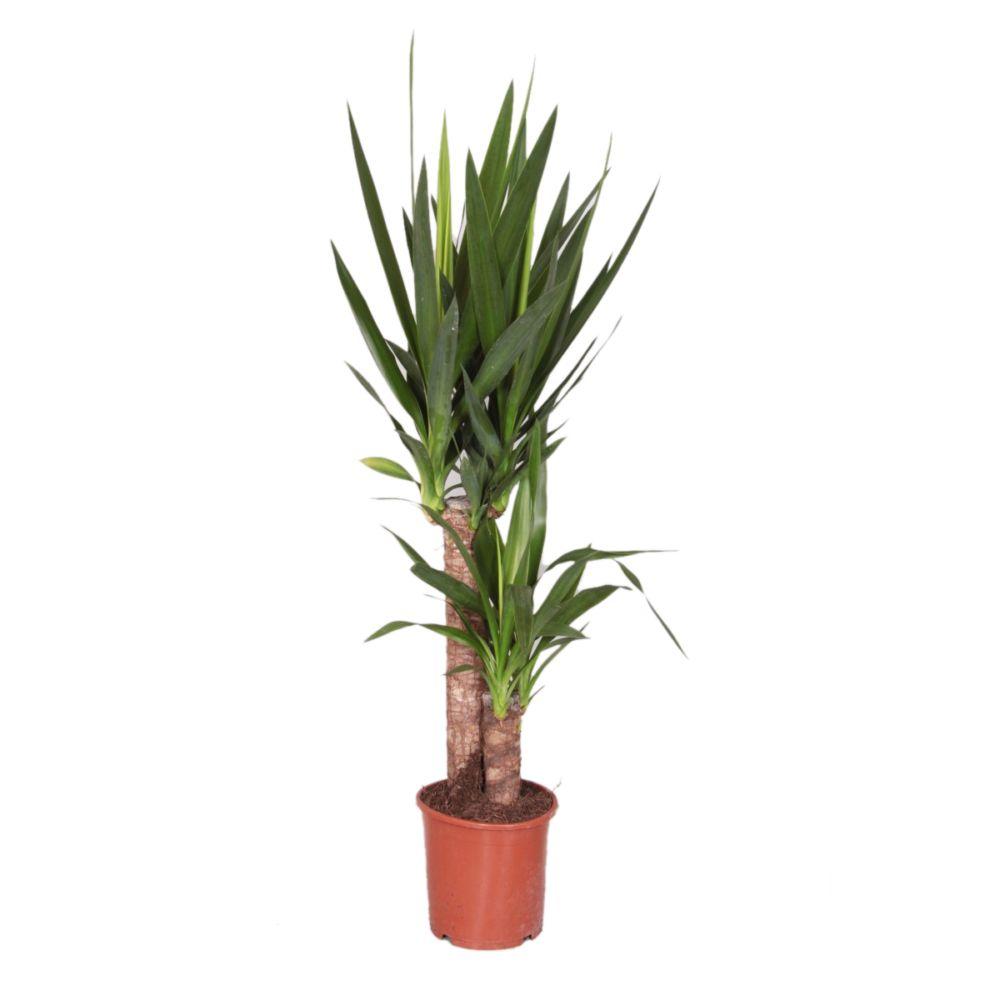 Pot De Plante Pas Cher yucca 2 troncs - 45-20cm - 3 têtes