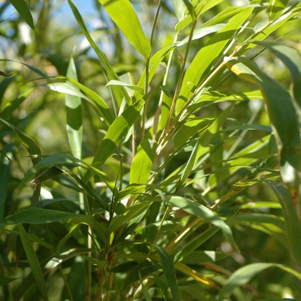 Bambou moyen : Semiarundinaria yashadake 'Kimmei'
