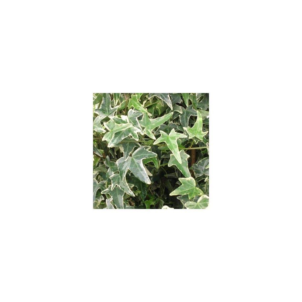 Lierre commun 'Sagittifolia Variegata'