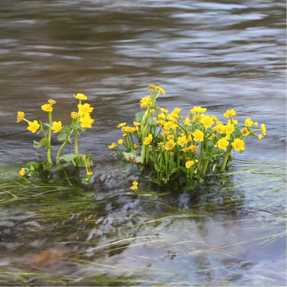 Plante aquatique Caltha palustris - Souci d'eau En pot de 1 litres - Gamm Vert