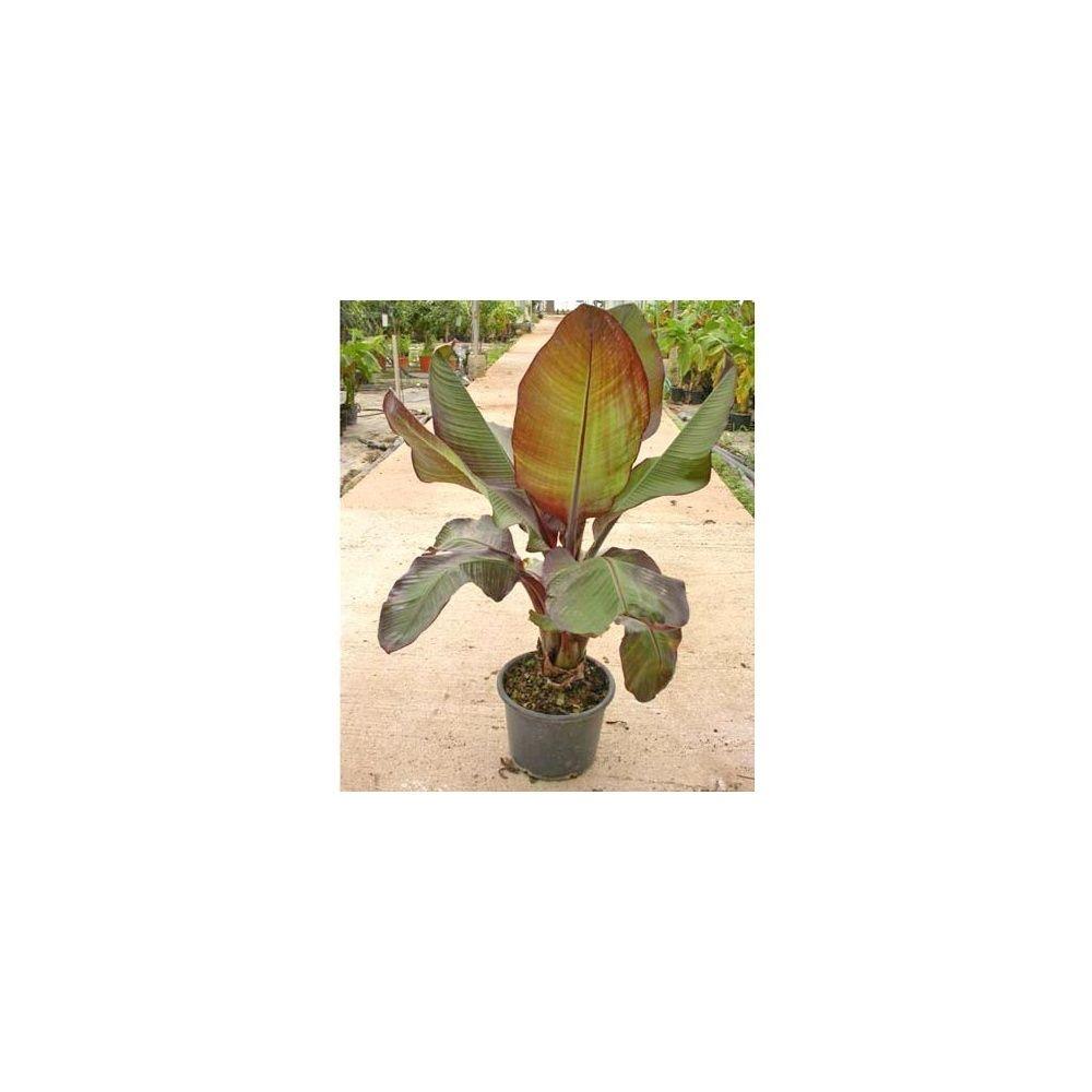 Bananier d'Abyssinie 'Maurelii'