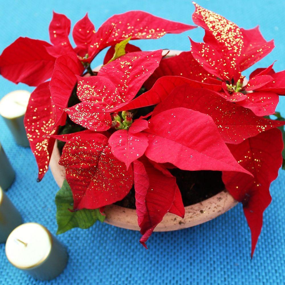 Etoile De Noel Plante Exterieur poinsettia rouge et paillettes - etoile de noël paillétée