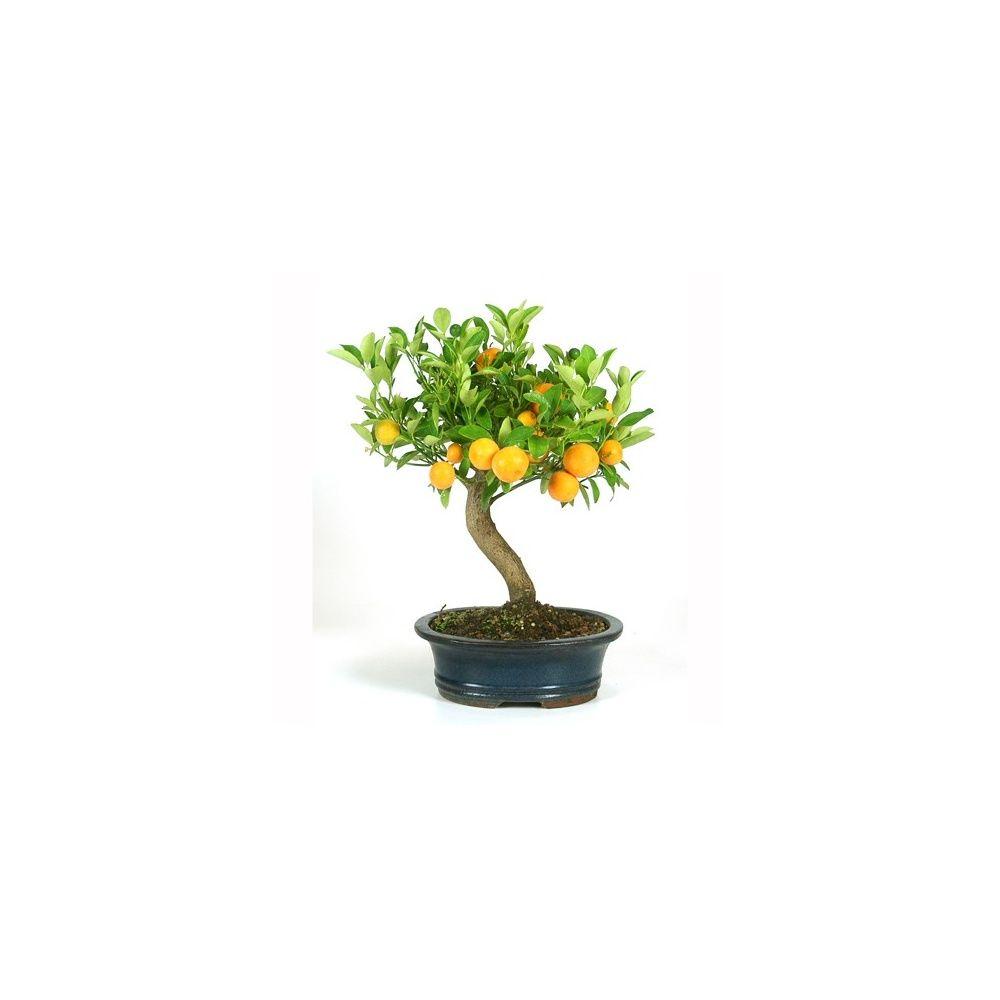 Arbre Fruitier En Pot Interieur bonsaï d'intérieur : citrus (10 ans)