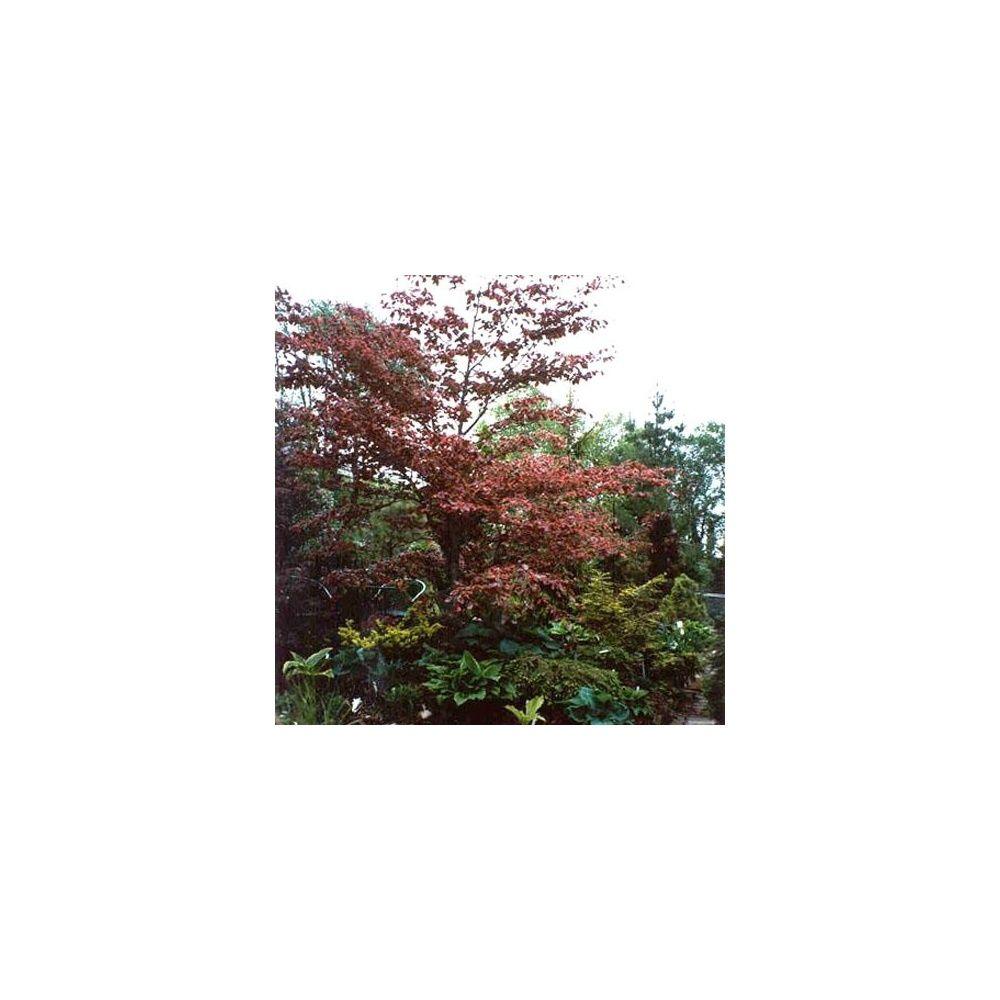 Coloriage Arbre Hetre.Hetre Tricolor Pot De 15 Litres Baliveau 5 Ans D Age Gamm Vert