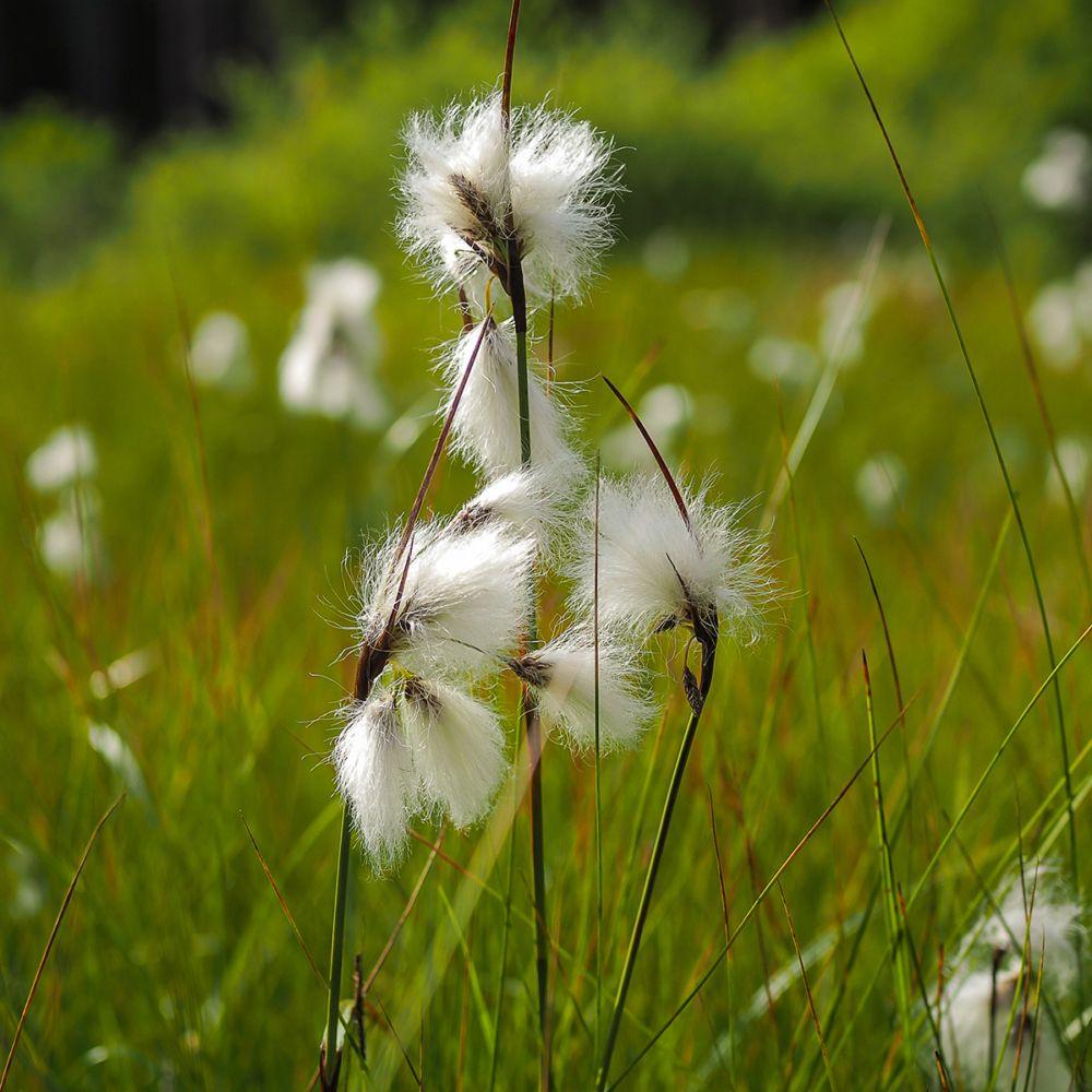 Eriophorum angustifolium - Linaigrette ou Jonc à coton