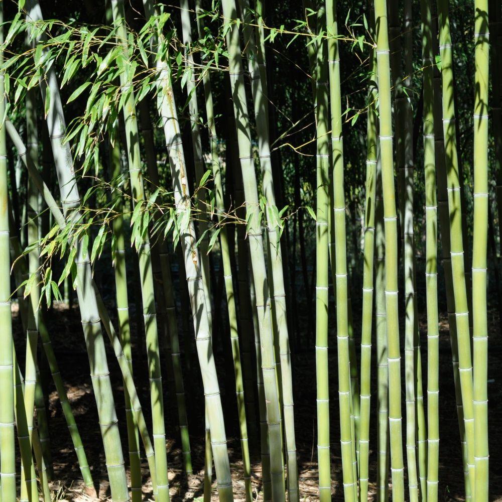 Bambou Geant Phyllostachys Nigra Henonis