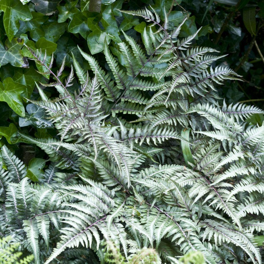 Fougère argentée - Athyrium niponicum metallicum