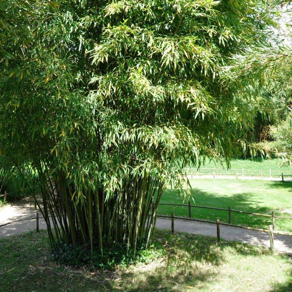 bambou moyen : phyllostachys manii pot de 3 litres, hauteur 40/80cm