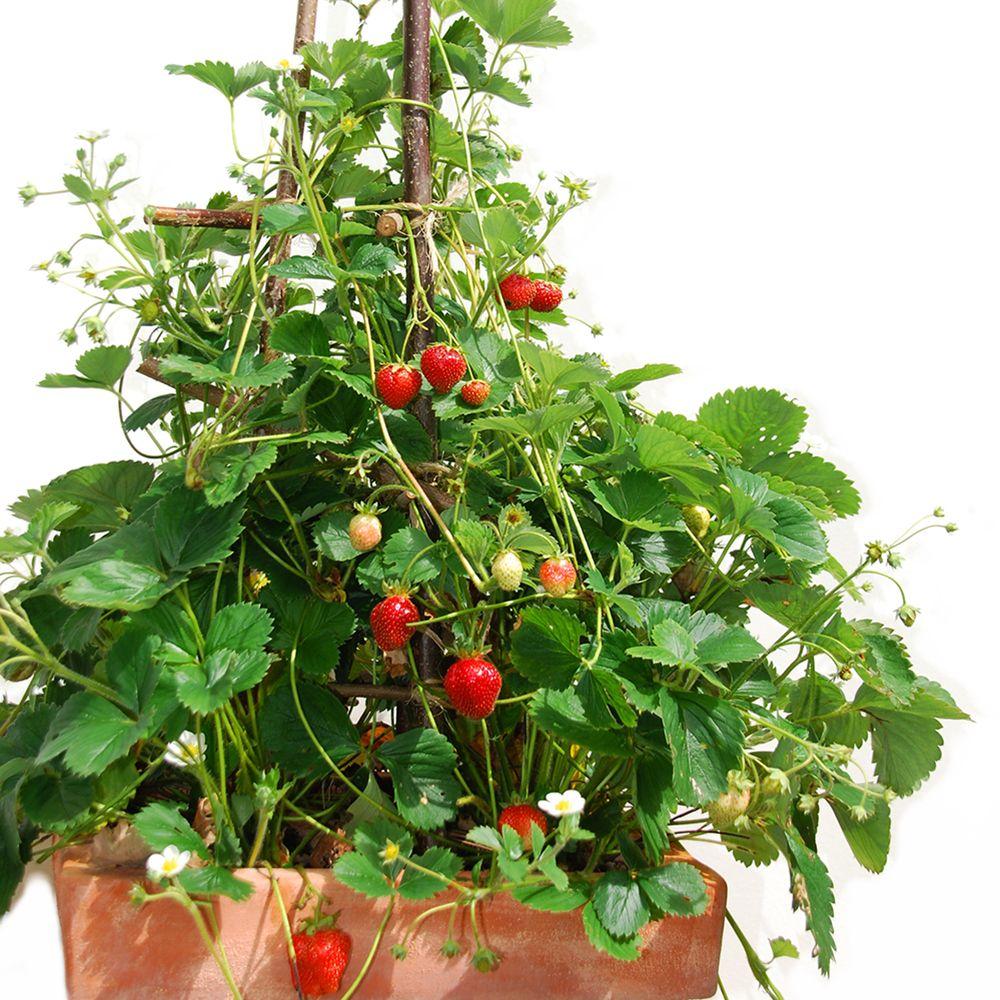 fraisier grimpant 'mount everest', le lot de 5 le lot de 5 plants en