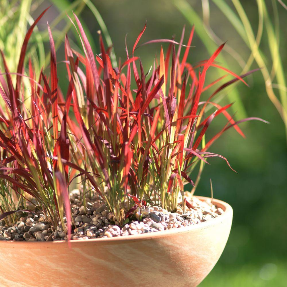 foto de Imperata cylindrica 'Red Baron' En pot de 0 75 litres Gamm Vert