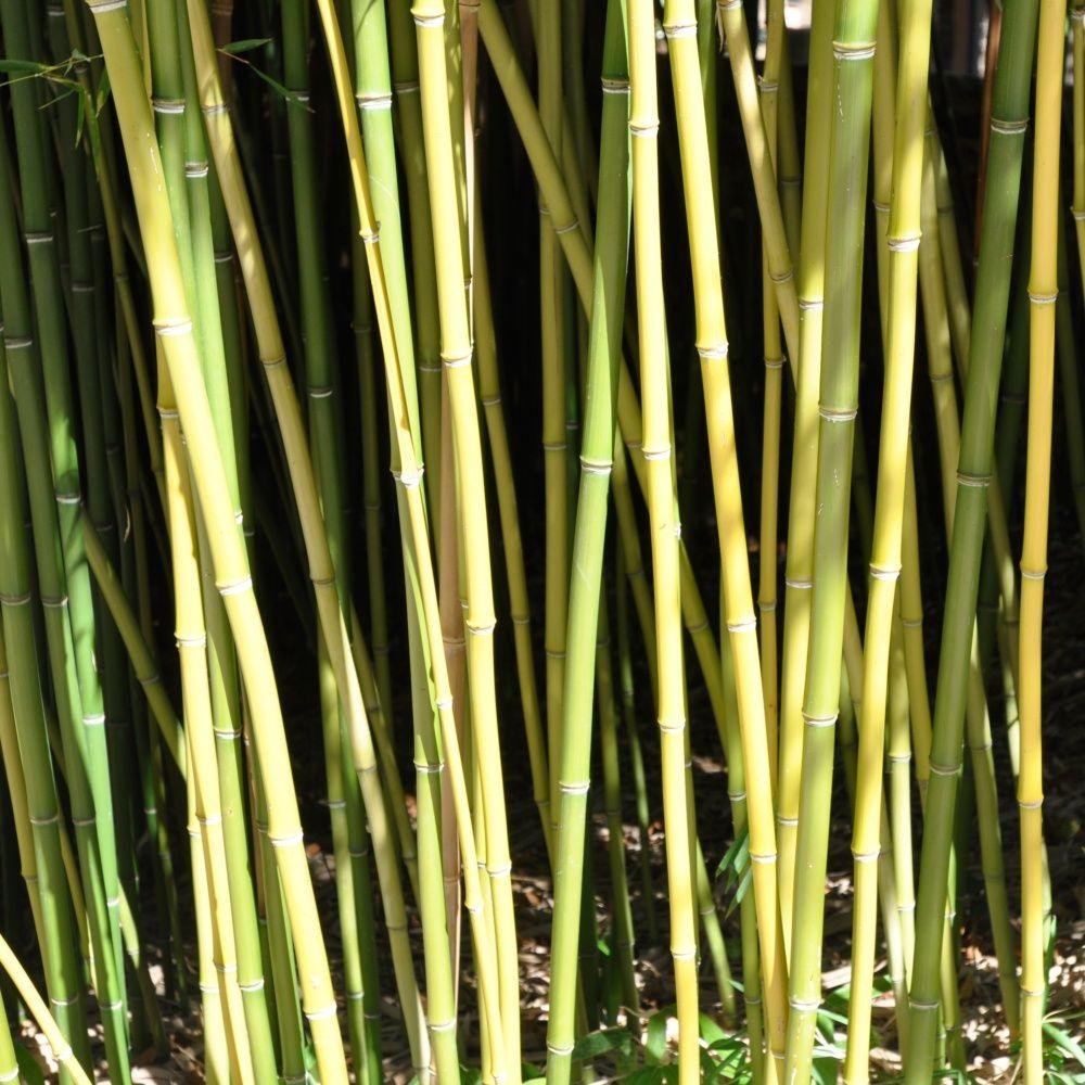 Bambou moyen : Phyllostachys humilis