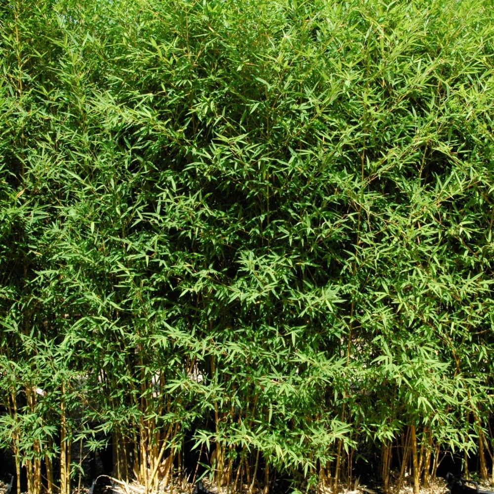 Bambou moyen : Phyllostachys aurea 'Koï'