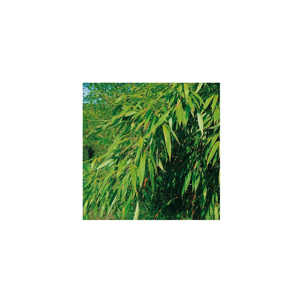 Bambou moyen : Phyllostachys flexuosa